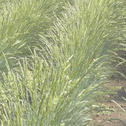 grasses chiclet image